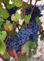 tempranillo-grapes-on-vines.jpg